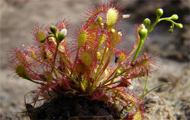 Drosera a feuilles rondes